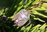 Tallbärfis (Chlorochroa pinicola)