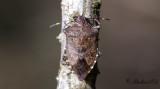 Trädrovbärfis (Troilus luridus)
