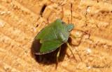 Grön bärfis - Green Shield Bug (Palomena prasina)
