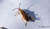 Slender-horned Leatherbug (Ceraleptus lividus)