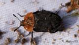 Rödsköldad asbagge - Red-breasted Carrion Beetle (Oiceoptoma thoracicum)