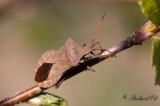 Stort Kantstinkfly - Dock Bug (Coreus marginatus)