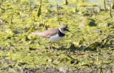 Mindre strandpipare - Little Ringed Plover (Charadrius dubius)