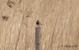Vitstjärnig blåhake - Bluethroat (Luscinia svecica cyanecula)