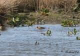 Rödspov - Black-tailed Godwit (Limosa limosa)