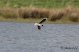 Dvärgmås - Little Gull (Larus minutus)