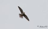 Lärkfalk - Hobby (Falco subbuteo)