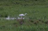 Ägretthäger - Great Egret (Ardea alba)