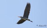 Gråhäger - Grey Heron (Ardea cinerea)