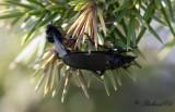 Skogshårmygga (Bibio marci)