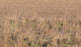 Svarthakad buskskvätta - Stonechat (Saxicola rubicola)
