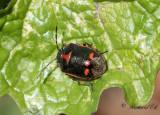 Rapssugare - Rape Bug (Eurydema oleracea)
