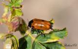 Säckbagge (Clytra quadripunctata)