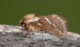 Hepialidae ( Rotfjärilar )