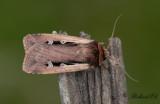 Mindre jordfly - Flame Shoulder (Ochropleura plecta)