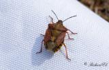Purpurbärfis (Carpocoris purpureipennis)