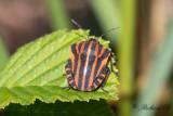Strimlus - Striped Shield Bug (Graphosoma lineatum)