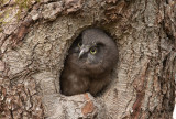 Pärluggla - Boreal Owl (Aegolius funereus)