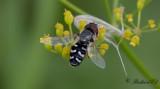 Blomflugor/Hoverflies (Syrphidae)