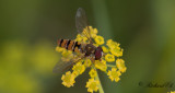 Hoverfly sp.