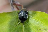 Bärfisar & Skinnbaggar / Stink bugs & Shield bugs