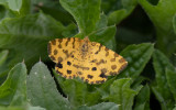 Pantermätare - Speckled Yellow (Pseudopanthera macularia)