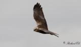 Brun kärrhök - Western Marsh Harrier (Circus aeruginosus)