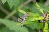 Tysk skorpionslända (Panorpa germanica)