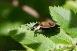 Fyrprickig asbagge (Dendroxena quadrimaculata)