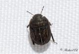 Mörkhårig sköldskinnbagge (Odontoscelis fuliginosa)