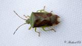 Större björkbärfis - Birch Shieldbug (Elasmostethus interstinctus)