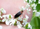 Rödbukad gaddbagge (Mordellochroa abdominalis)