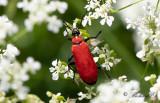 Stor kardinalbagge (Pyrochroa coccinea)