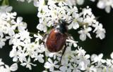 Trädgårdsborre (Phyllopertha horticola)