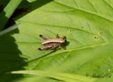 Buskvårtbitare (Pholidoptera griseoaptera)
