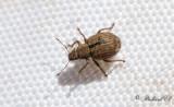 Curculionidae ( Vivlar )