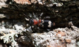 Myrbagge - European Red-bellied Clerid (Thanasimus formicarius)