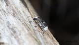 Vanlig plattnosbagge (Platystomos albinus)