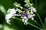 Hemipenthes maura