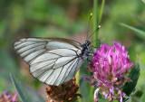 Pieridae ( Vitfjärilar )