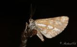 Tallmätare - Bordered White (Bupalus piniaria)