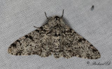 Björkmätare - Peppered Moth (Biston betularia)