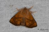 Limacodidae ( Snigelspinnare )