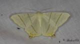Svansmätare - Swallow-tailed moth (Ourapteryx sambucaria)