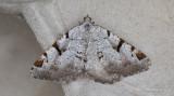 Måbärsmätare - The V-Moth (Macaria wauaria)