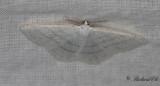 Snövit streckmätare - Common White Wave (Cabera pusaria)