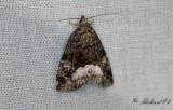 Vitfläckat glansfly - Marbled White Spot (Deltote pygarga)