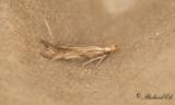 Adekoidea ( Malar )