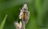 Axsugare (Leptopterna dolabrata)
