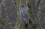 Lappuggla - Great Grey Owl (Strix nebulosa)